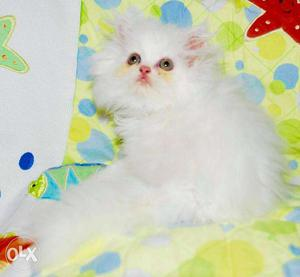Golden color so cute persian kitten for sale in gurgaon