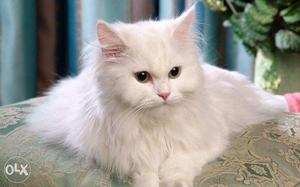 Male Persian cat ready for sell