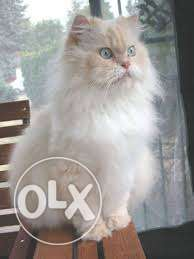 So Beautiful So Nice Persian Kittens & Cats For Sale in