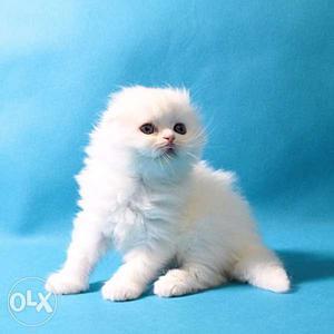 Very active persian kitten for sale in noida delhi gurgaon
