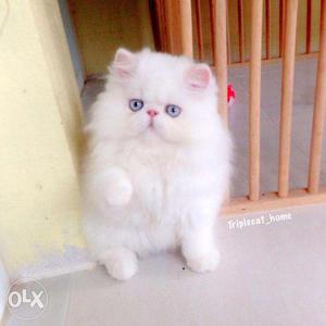 Very beautiful so cute perian kitten for sale in noida
