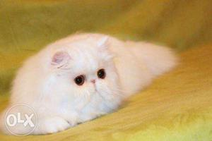Very cheap price pure persian kitten for sale in kanpur