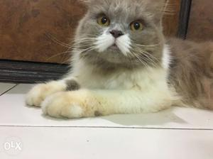 Persian Female Cat of 1year Old ready for mating