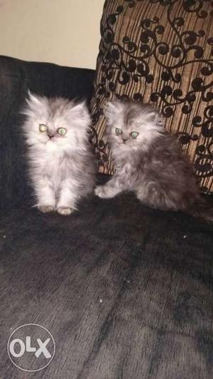 Persian Kittens all 3 females