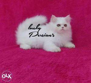 All colors pure breed Persian kittens available