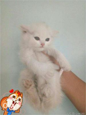 Cash on delivery and Nice kitten for sale in