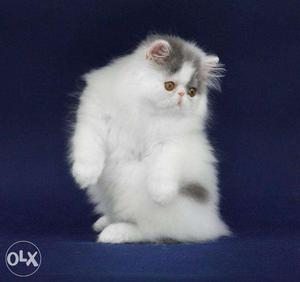 So cute persian kitten for sale in pathankot
