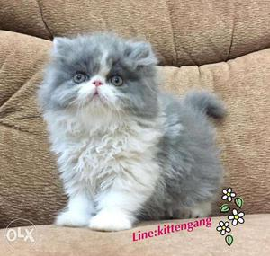 So nice persian kitten for sale in faridabad