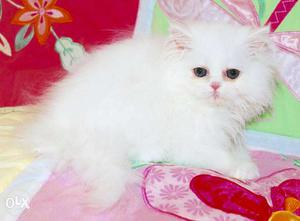 Very cheap price very cute persian kitten for sale in all