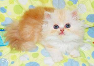 Golden color so cute persian kitten for sale in noida