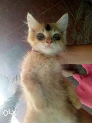 Persion crossed kitten ghost is waiting for you