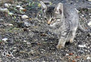 Crossed nadan cat for sale