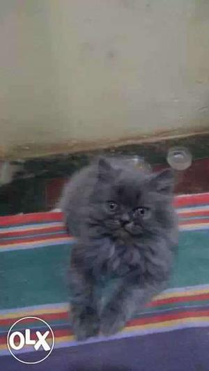 Persian Kittens At lowest price in bangalore