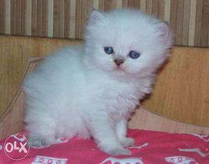 White color very cute persian kitten for sale in alll