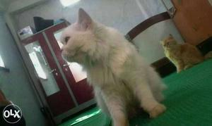 White female cat with ext punch male. pregnant