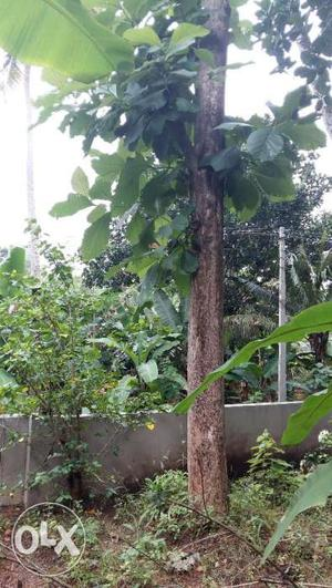 Teak Tree & Jack fruit tree for sale