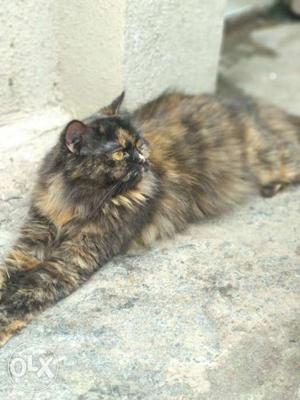 Female Persian urgent sell can call at