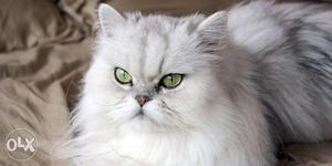 Fluffy and Cute Persian Kittens Available