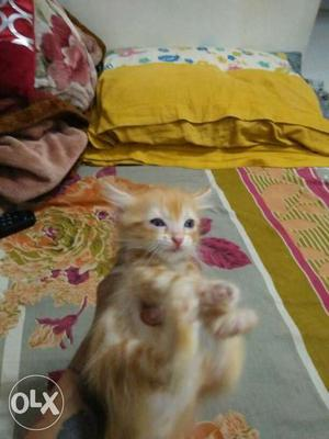 I want sale 4 persian doll face kittnen 2 male &
