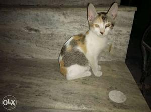 Short-fur Tricolor Kitten