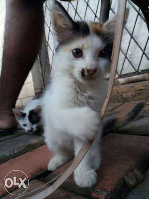 Two Tricolor Kitten