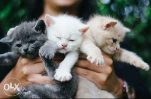 All types kittens for sale transport all