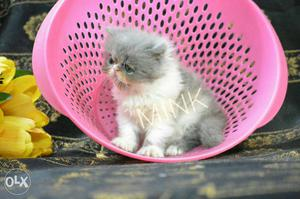 Beautiful and healthy home bred kittens available