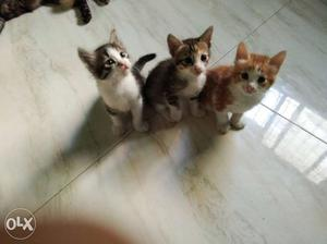 Black White And Orange Tabby Kittens