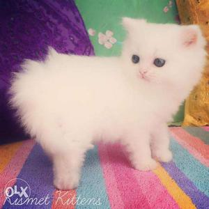 Blue eyes so cute persian kitten for sale in etawah