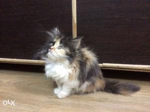 Calico persian kitten cat available Beautiful