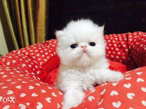 Friendly persian kittens available in meerut with hometown