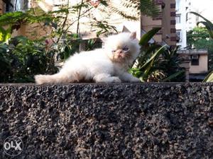 Hello buyers We get the best kitten in best price