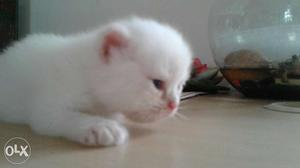 Here we come up with good qulality kitten and our
