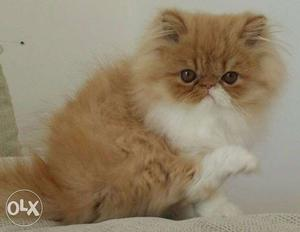 Normal eyes so cute persian kitten for sale in all