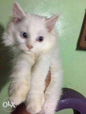 Persian Kitten Available In Delhi Genuine Buyers