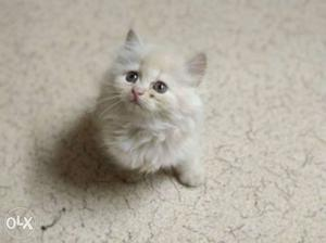 Persian cat small kitten of 2 months old grey   Posot Class