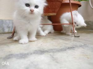 Pure white and brown Persian kittens