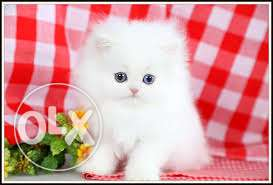 Very So very beautiful person kitten for sale in lucknow