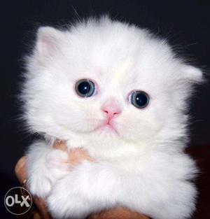 Very cute persian kittens available in kolkata with hometown