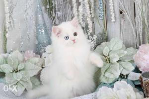 White Persian cat and kitten pair male and female