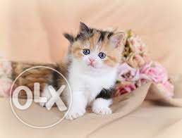 Calico kittens available here