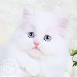 Very So very beautiful person kitten for sale in gwalior