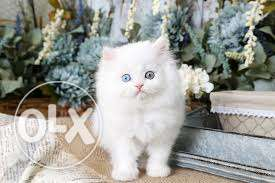 Very So very beautiful person kitten for sale in noida