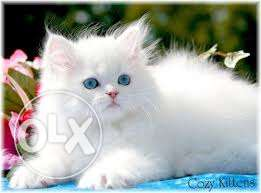 Very So very beautiful person kitten for sale in rewari