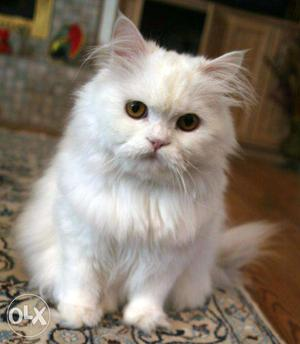 Active and trained Persian cat and kitten available for
