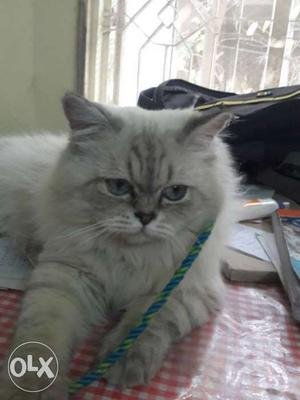 Heavy bone pure persian cat male ready for mating