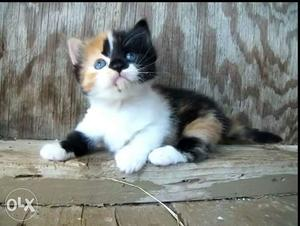 Persian Kittens available in Mumbai with home  each