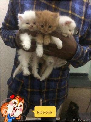 Persian kitten available in mumbai  each