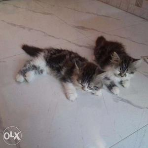 Persian kittens available in Mumbai in good