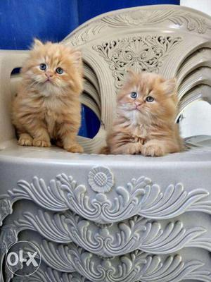 Persian kittens available in Mumbai with good fur